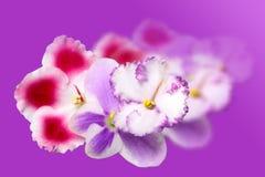Beautiful flowers Saintpaulia Royalty Free Stock Photography