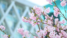 Beautiful flowers of sakura tree and modern glass building stock footage