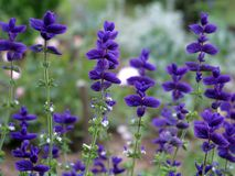Beautiful flowers of salvia royalty free stock image