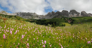 Beautiful Flowers at San Pellegrino pass in the Dolomites in the Val di Fiemme, Trento Stock Photo