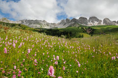 Beautiful Flowers at San Pellegrino pass in the Dolomites in the Val di Fiemme, Trento. Italy Stock Photography