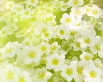 Beautiful Flowers of Saxifraga Paniculata stock photos