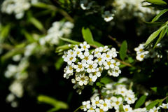 Beautiful flowers. Spring mood and wonderful nature. Beautiful white flowers Royalty Free Stock Photography