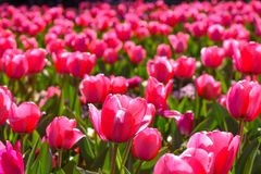 Pink tulip Flowers in spring summer stock image