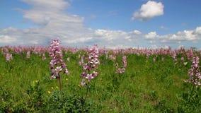 Beautiful flowers in the springtime Dictamnus albus stock footage
