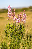 Beautiful flowers in the springtime Dictamnus albus Stock Photography