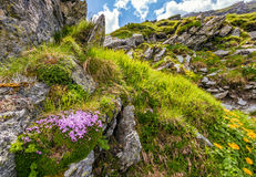 Beautiful flowers on Steep slope of rocky hillside Stock Images