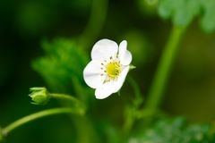 Beautiful flowers of strawberry in nature Stock Images