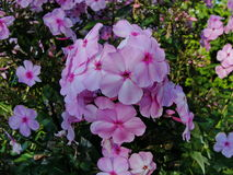 Beautiful flowers in the summer garden. five bright pink flowers of Phlox. Royalty Free Stock Photo