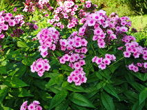 Beautiful flowers in the summer garden. five bright pink with red heart flowers of Phlox. Royalty Free Stock Photography