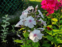 Beautiful flowers in the summer garden. five-petal white with a red core and red flowers of Phlox. Stock Photos