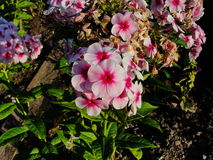 Beautiful flowers in the summer garden. five-petal white with red heart flowers of Phlox. Stock Photos
