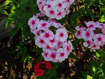 Beautiful flowers in the summer garden. five-petal white with red heart flowers of Phlox. Stock Image