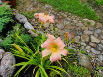 Beautiful flowers in the summer garden. large pink Terry daylilies. Stock Photography