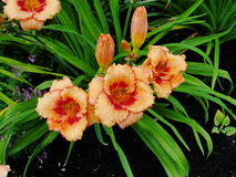 Beautiful flowers in the summer garden. large pink Terry daylilies. Stock Photos
