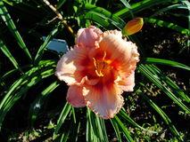 Beautiful flowers in the summer garden. large pink Terry daylilies. Royalty Free Stock Image