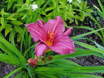 Beautiful flowers in the summer garden. large purple Terry daylilies. Stock Photos