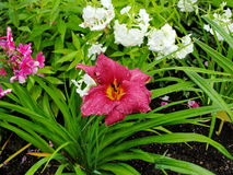 Beautiful flowers in the summer garden. large red Terry daylilies and Phlox. royalty free stock photography