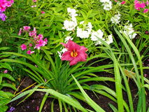 Beautiful flowers in the summer garden. large red Terry daylilies and Phlox. Royalty Free Stock Photo