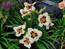 Beautiful flowers in the summer garden. large white with a dark middle, Terry daylilies. Royalty Free Stock Photo