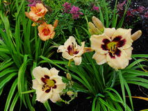 Beautiful flowers in the summer garden. large yellow with a dark center and orange Terry daylilies. Royalty Free Stock Photography