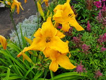 Beautiful flowers in the summer garden. large yellow Terry day-Lily (Lily). Stock Image
