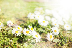 Beautiful flowers summer sunny background Royalty Free Stock Image