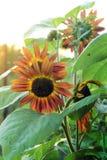 Sunflower. Beautiful flowers. sunflower in garden Royalty Free Stock Image