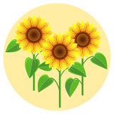 Beautiful flowers sunflowers Royalty Free Stock Photography
