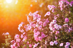 Beautiful flowers and sunrays Stock Photography