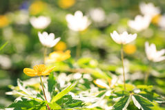 Beautiful flowers in the sunshine Royalty Free Stock Photo