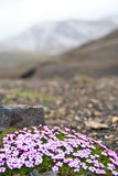 Flowers alone in Icelandic landscape Royalty Free Stock Images