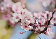 flowers of a fruit  tree blooming in spring stock image