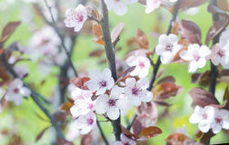 Beautiful flowers on a tree branch. Spring Background. Blossom tree Stock Images