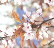 Beautiful flowers on a tree branch. Spring Background. Blossom tree Royalty Free Stock Photography