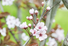 Beautiful flowers on a tree branch. Spring Background. Blossom tree Royalty Free Stock Image