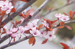 Beautiful flowers on a tree branch. Spring Background. Blossom tree Stock Image
