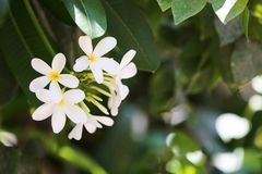 Beautiful flowers at tropical resort on sunny day. Beautiful white flowers at tropical resort on sunny day stock image