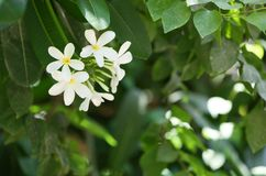 Beautiful flowers at tropical resort on sunny day. Beautiful white flowers at tropical resort on sunny day stock photo
