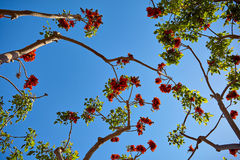 Beautiful flowers on tropical tree. Against the blue sky in Los Angeles stock image