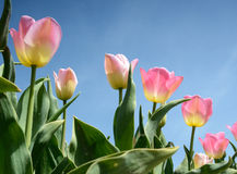 Beautiful flowers tulips against the sky (relaxation, meditation. Stress management - concept stock image