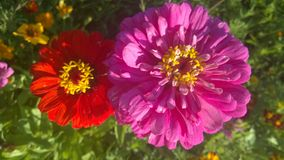 Beautiful flowers,two flowers, red, orange flower, full-blown flower Royalty Free Stock Photos