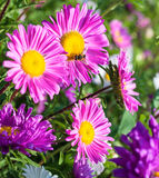Beautiful flowers violet aster. Beautiful flowers of purple asters in nature on a green background Royalty Free Stock Image