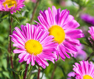 Beautiful flowers violet aster. Beautiful flowers of purple asters in nature on a green background Royalty Free Stock Images
