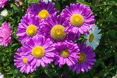 Beautiful flowers violet aster. Beautiful flowers of purple asters in nature on a green background Royalty Free Stock Photos