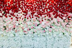 A beautiful flowers wall background with amazing red pink and white roses. A beautiful flowers wall background with amazing red pink and white roses in thailand Royalty Free Stock Images