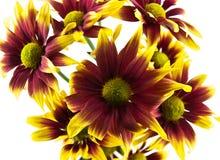 Beautiful flowers on white background Royalty Free Stock Photos
