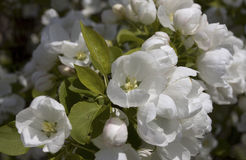 Beautiful flowers. Beautiful white flowers on a background of green leaves in the afternoon Royalty Free Stock Photos