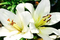 Beautiful flowers - white garden lily close up in summer in the garden royalty free stock photography