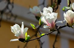 Beautiful flowers of white magnolia. Beautiful spring background Stock Photo